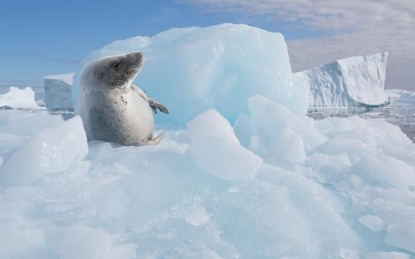 Crabeater Seal at Pleneau Bay, Antarctica